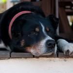 canine cog dysf