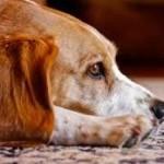 doggy dementia